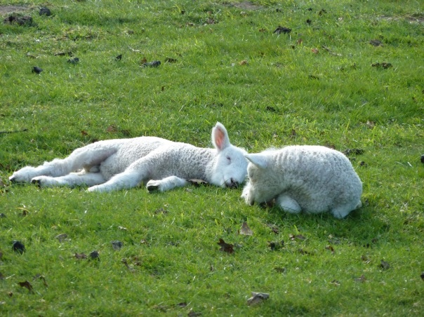 snoozy sheep