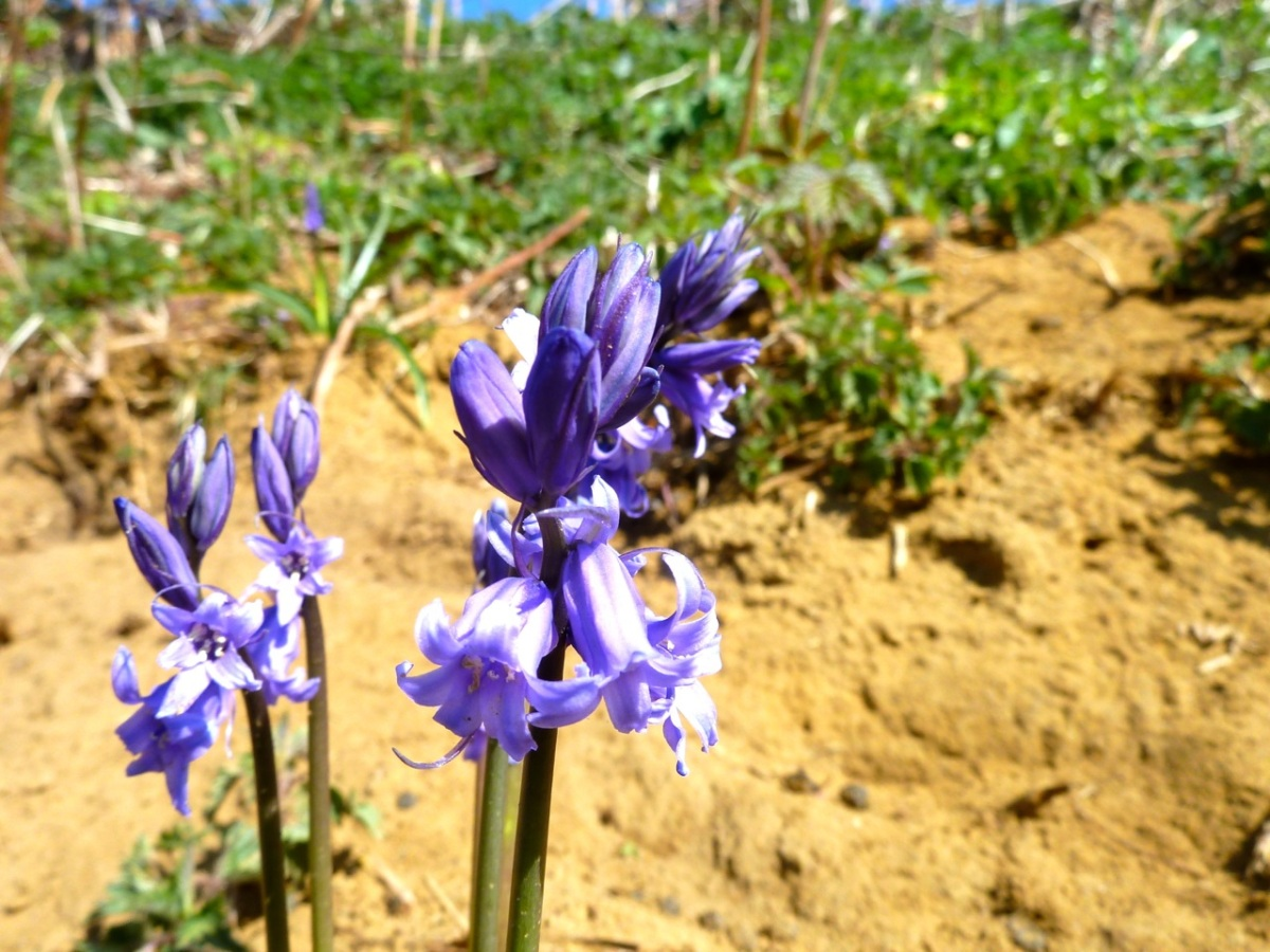 Bluebells in the sand
