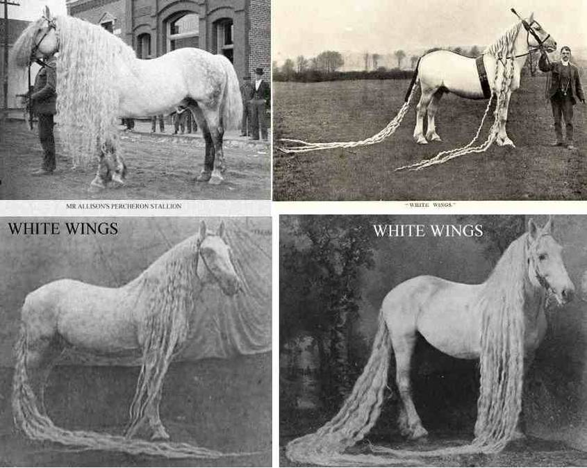 longmaned horsed 1902