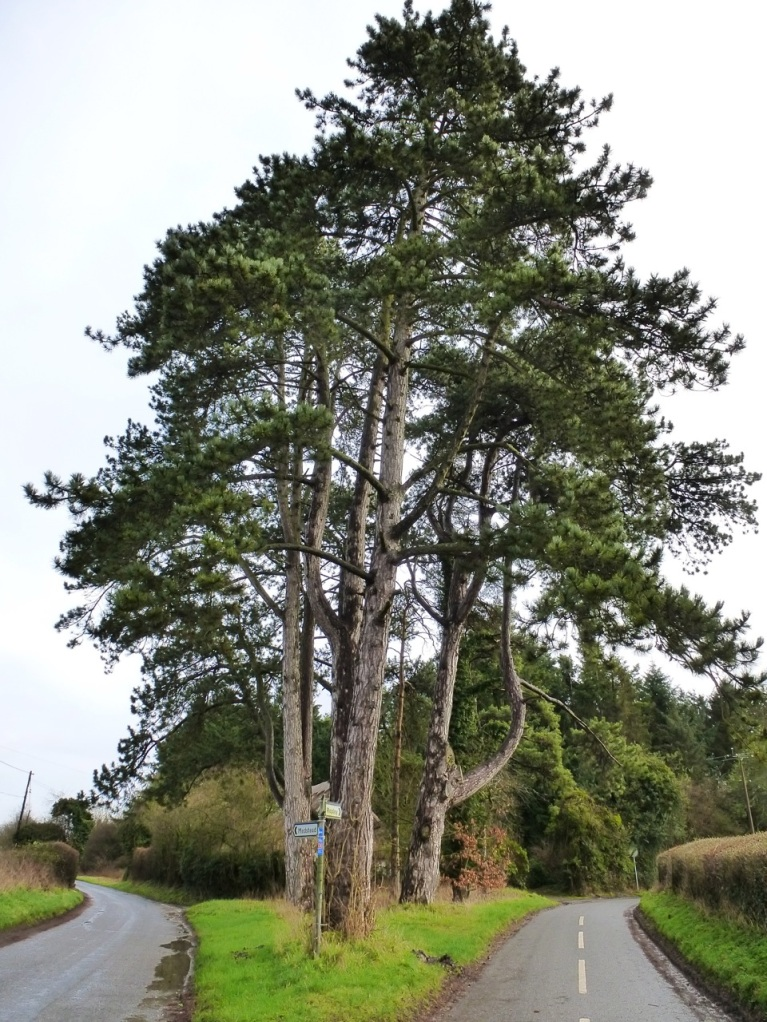 Pines, Bighton
