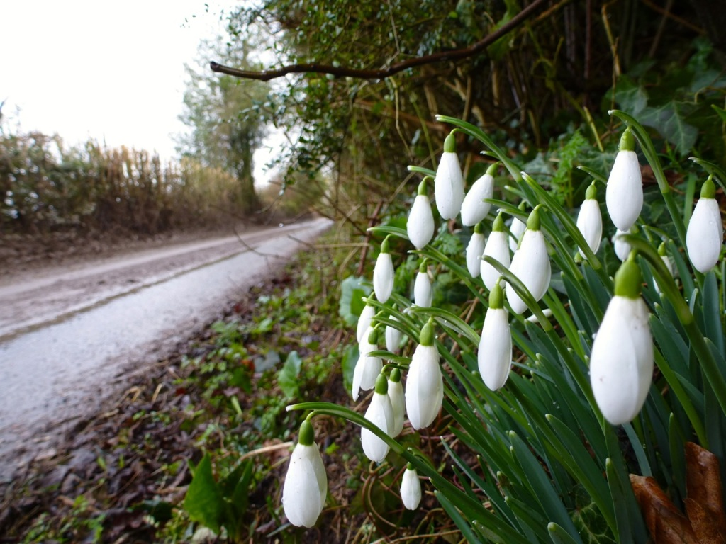 Snowdrops on Goscombs Lane