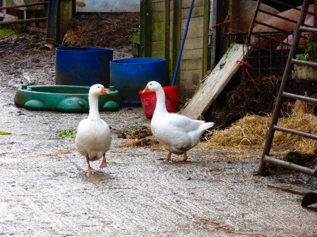 Gundleton Geese