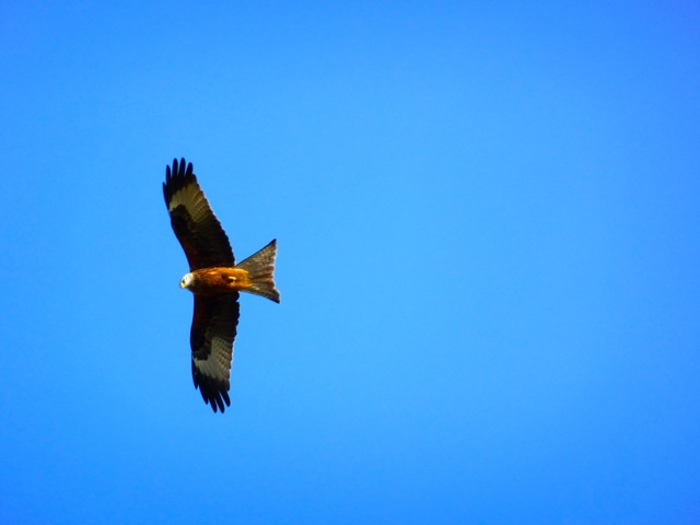 Red kite