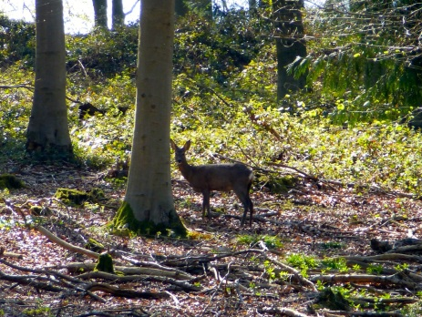 Deer in Cheriton Wood