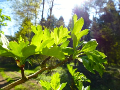 Springe leaves