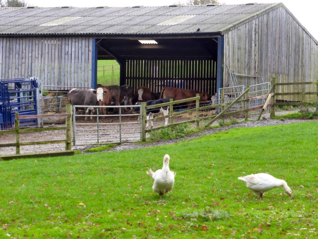 Geese at Cliveden, Gundleton