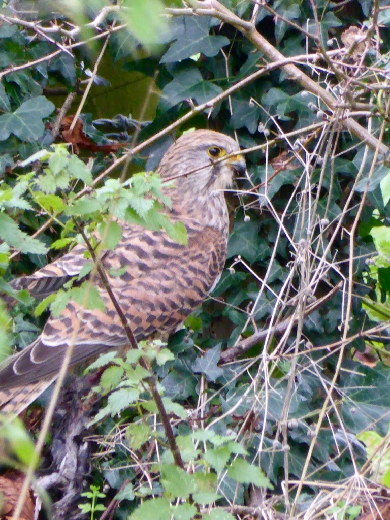 Kestrel with rat
