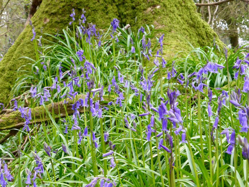 Bluebells and Mossy Tree
