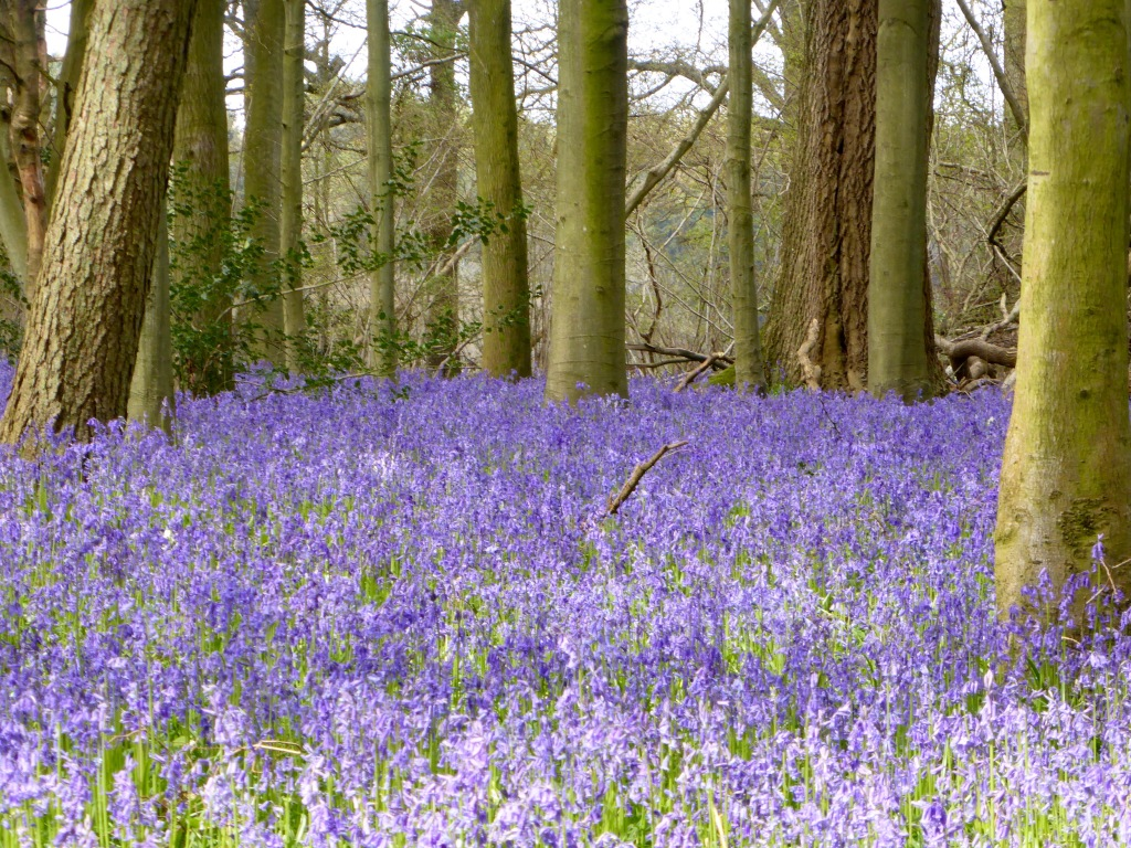 Bluebells at Joan's Acre, Hinton Ampner