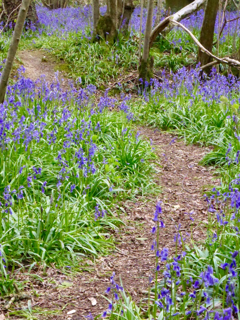 Footpath through bluebells