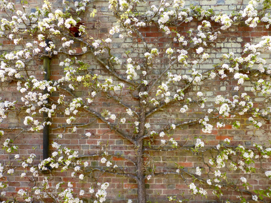 Pear tree in blossom espaliered against old brick wall