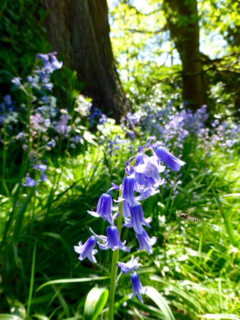 Bluebells in Brockwood Park Grove