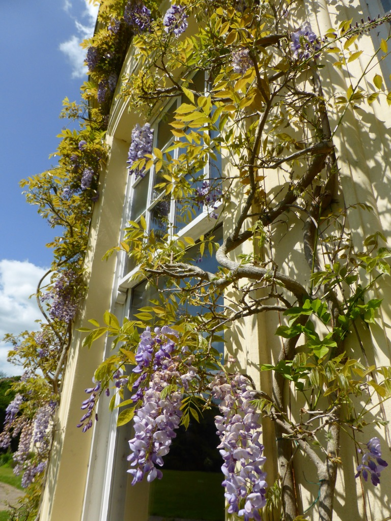 Wisteria around Georgian Window