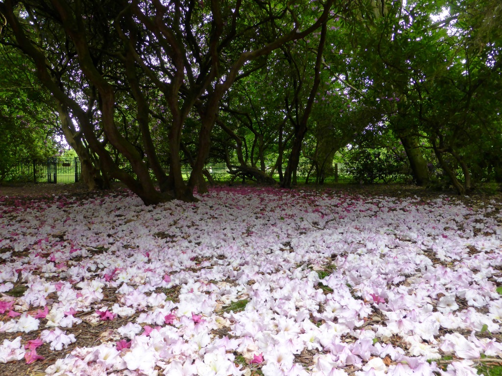 Rhododendron flower carpet