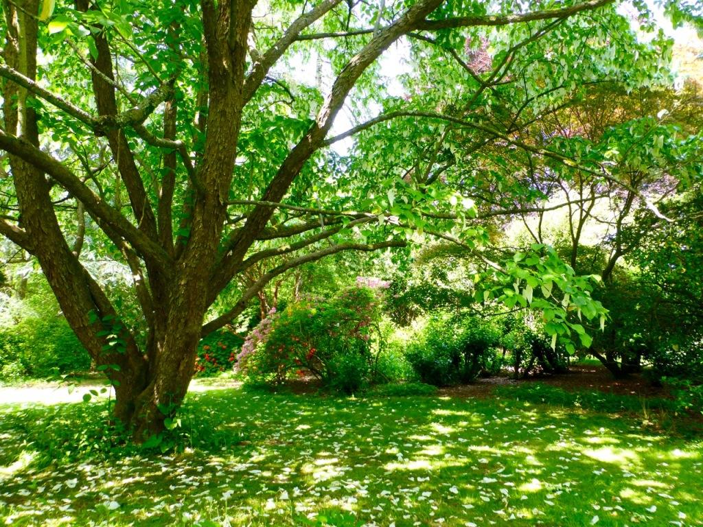 Handkerchief Tree