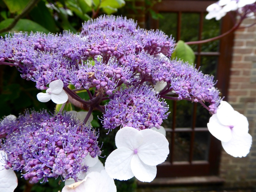 Hydrangea with two flower types