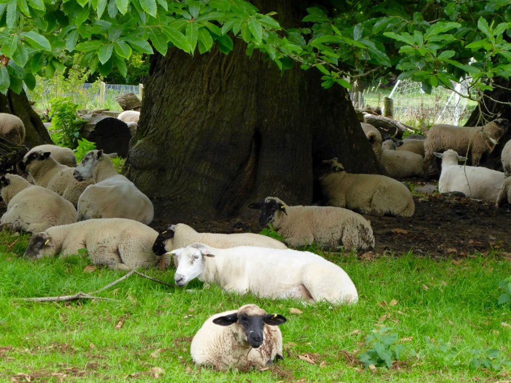 Shady sheep siesta