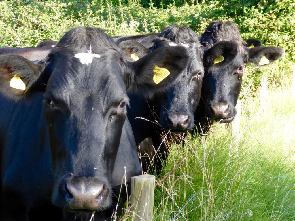 Three friendly cows
