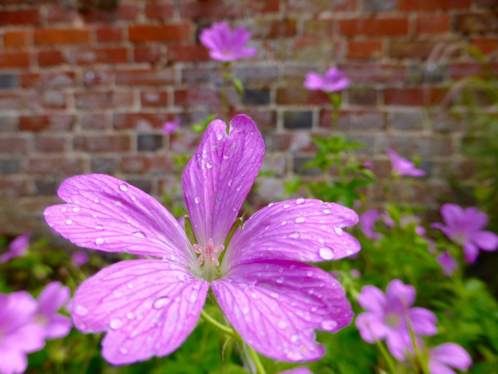 Purple flowers, brick wall