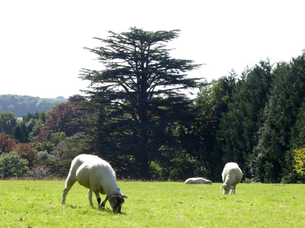Sheep and cedar