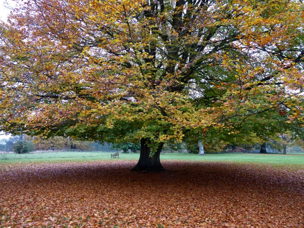Beech in autumn