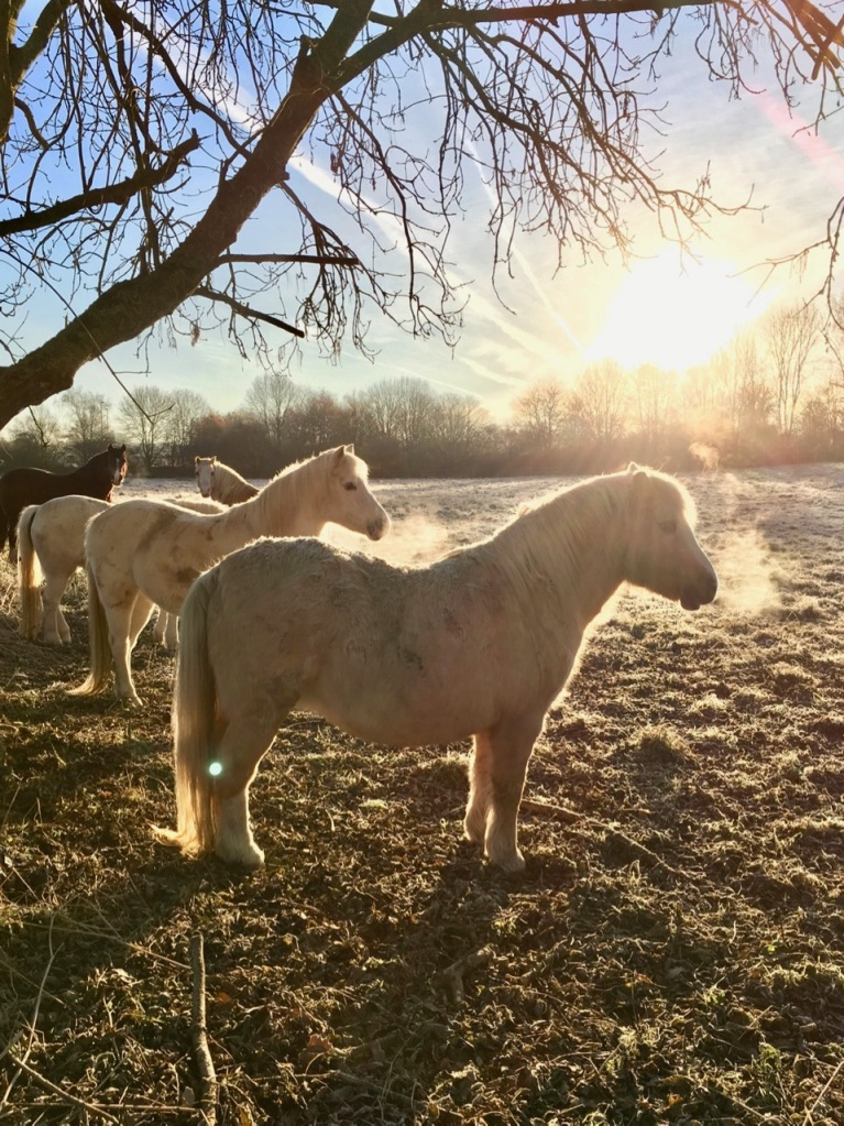 Ponies in frost
