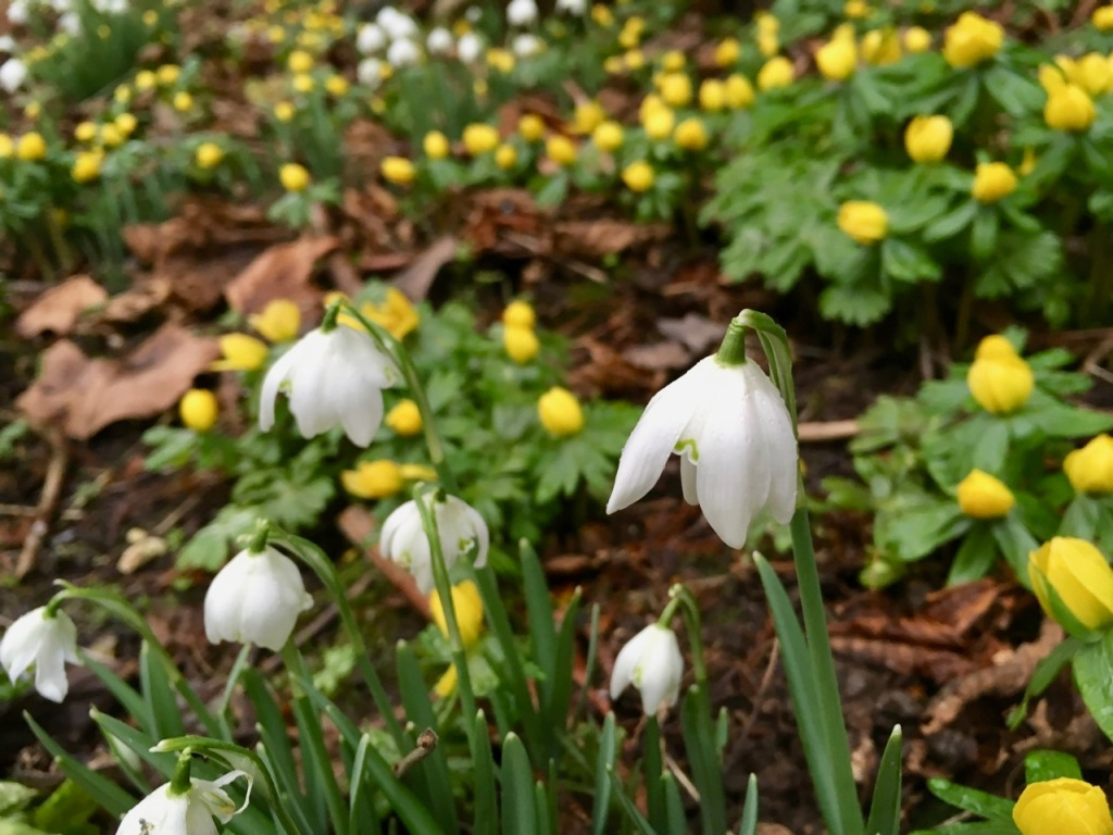 Celandine and snowdrops