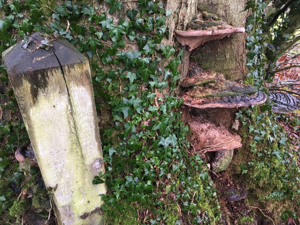 Plate fungus; tree eating post