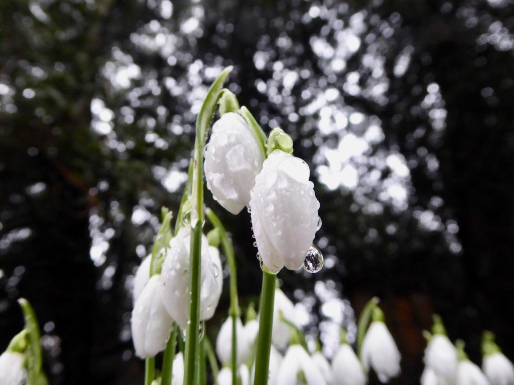 Snowdrops in rain